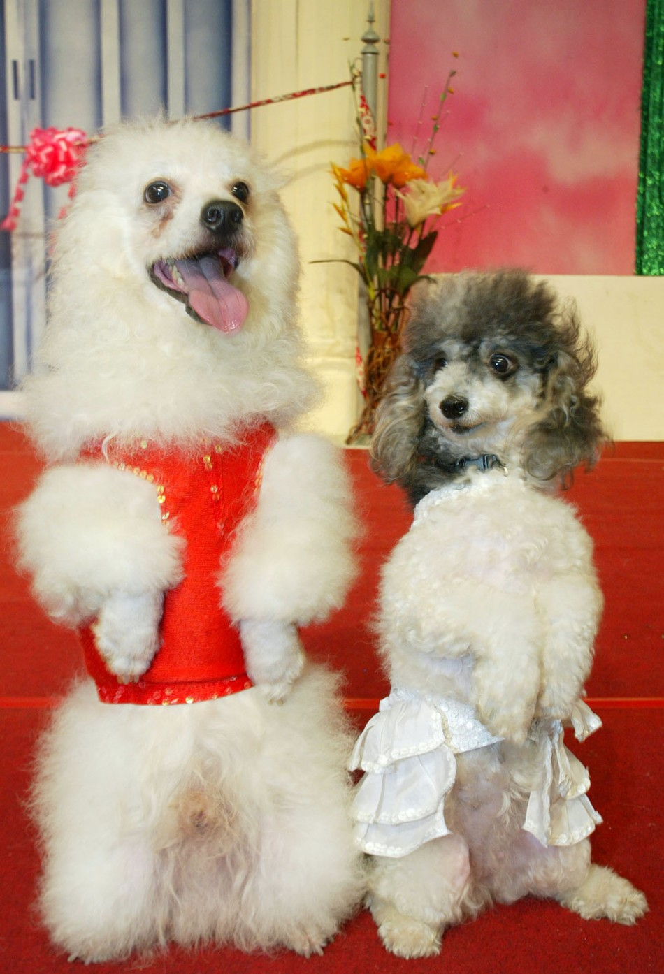 ferrets on steroids look like poodles
