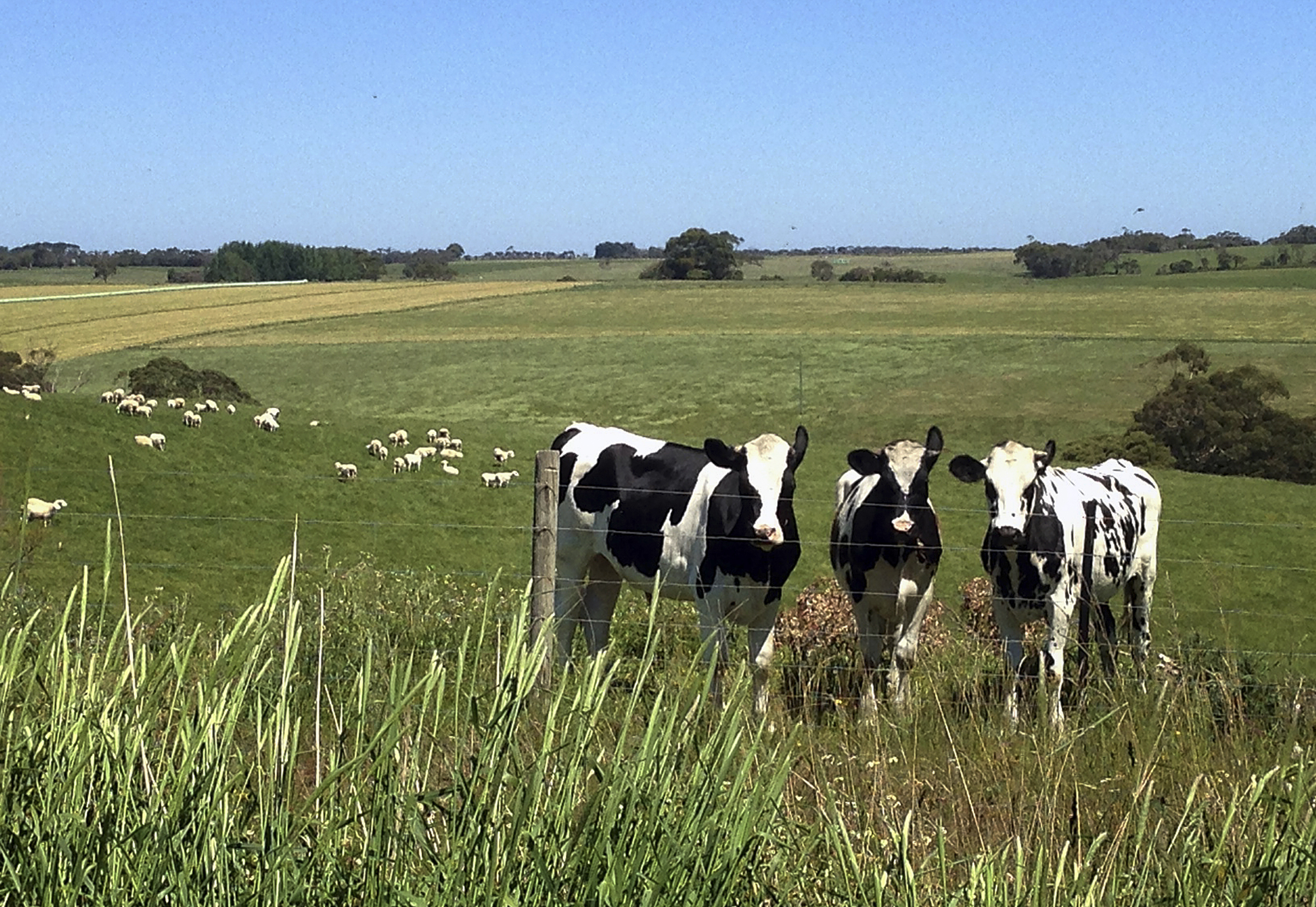 cow farts have u0027larger greenhouse gas impact u0027 than previously