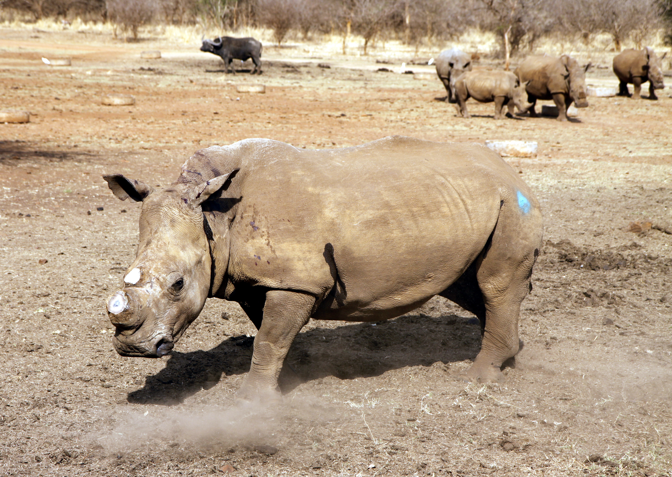 essay on rhino poaching in south africa Check out our top free essays on poaching to help you write your poaching in africa the verb poaching poaching – of rhino in kaziranga and manas national.