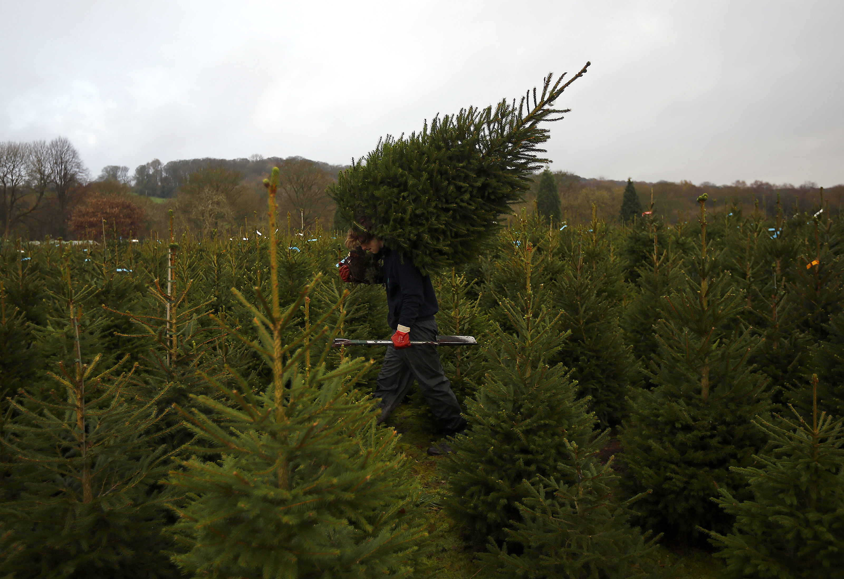 How to buy a real christmas tree purchase and care tips to make sure you get the best this year - Tips to care for a natural christmas tree ...