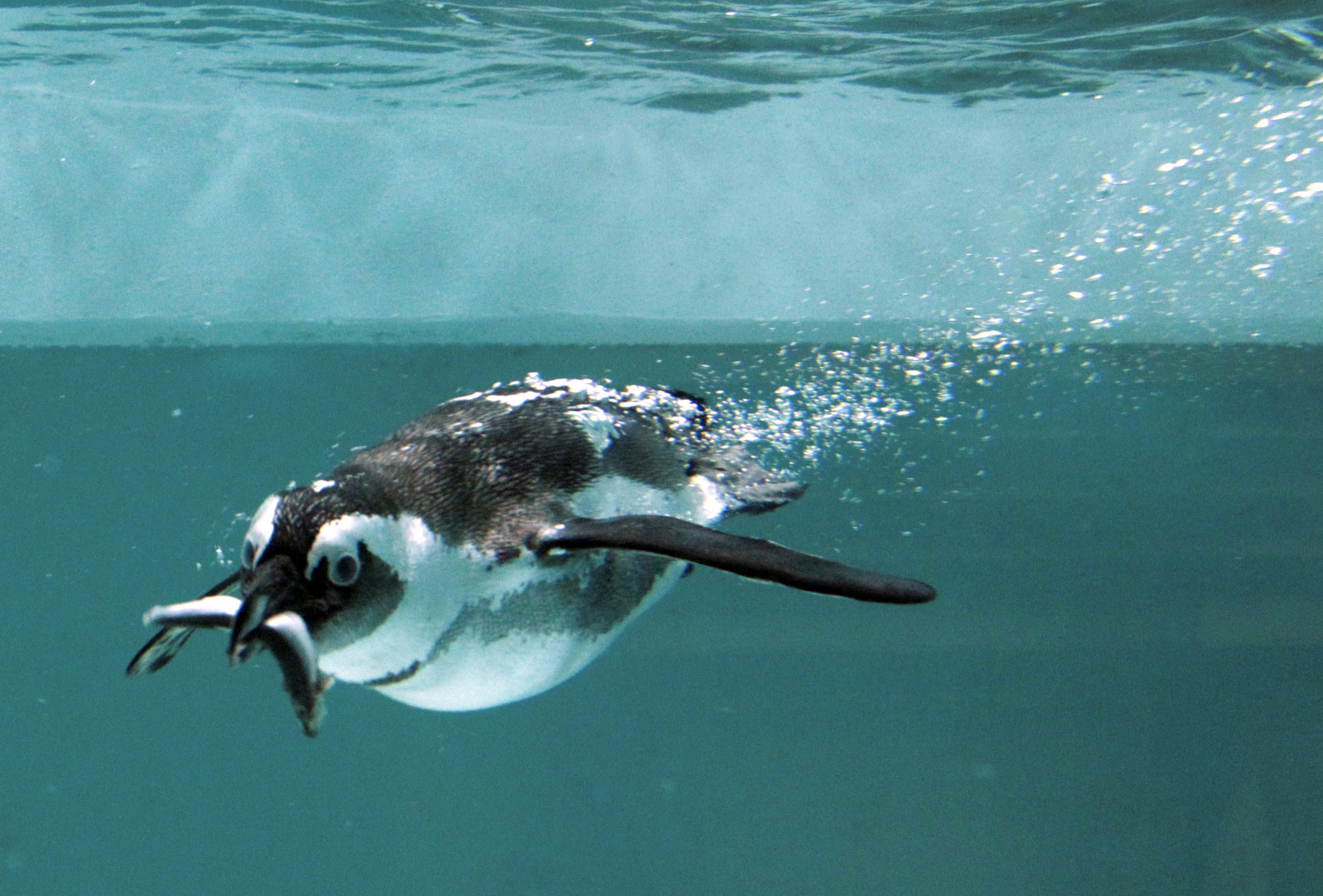 Penguins Lost Ability To Taste Fish Millions Of Years Ago: Study ...
