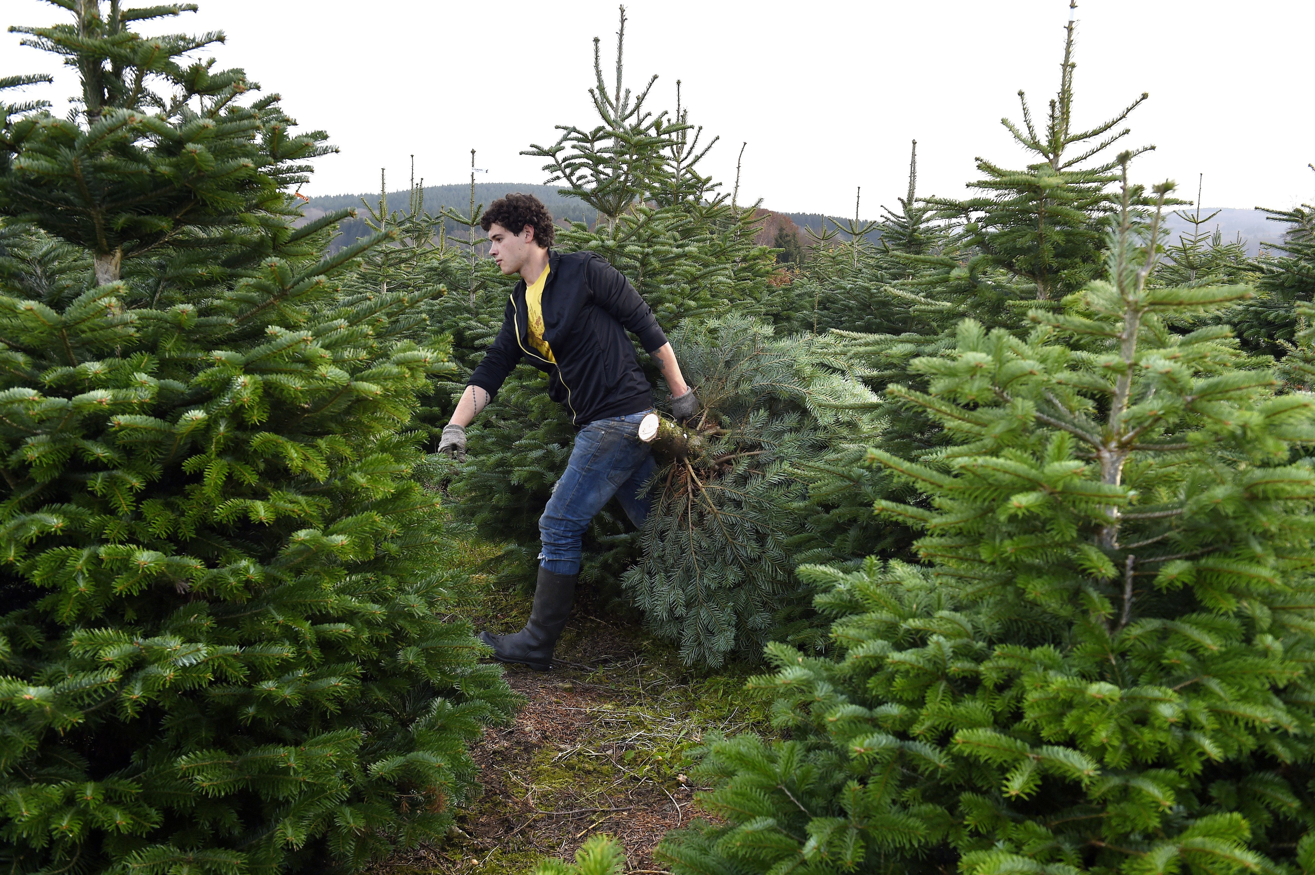 How To Buy A Real Christmas Tree: Purchase And Care Tips ...
