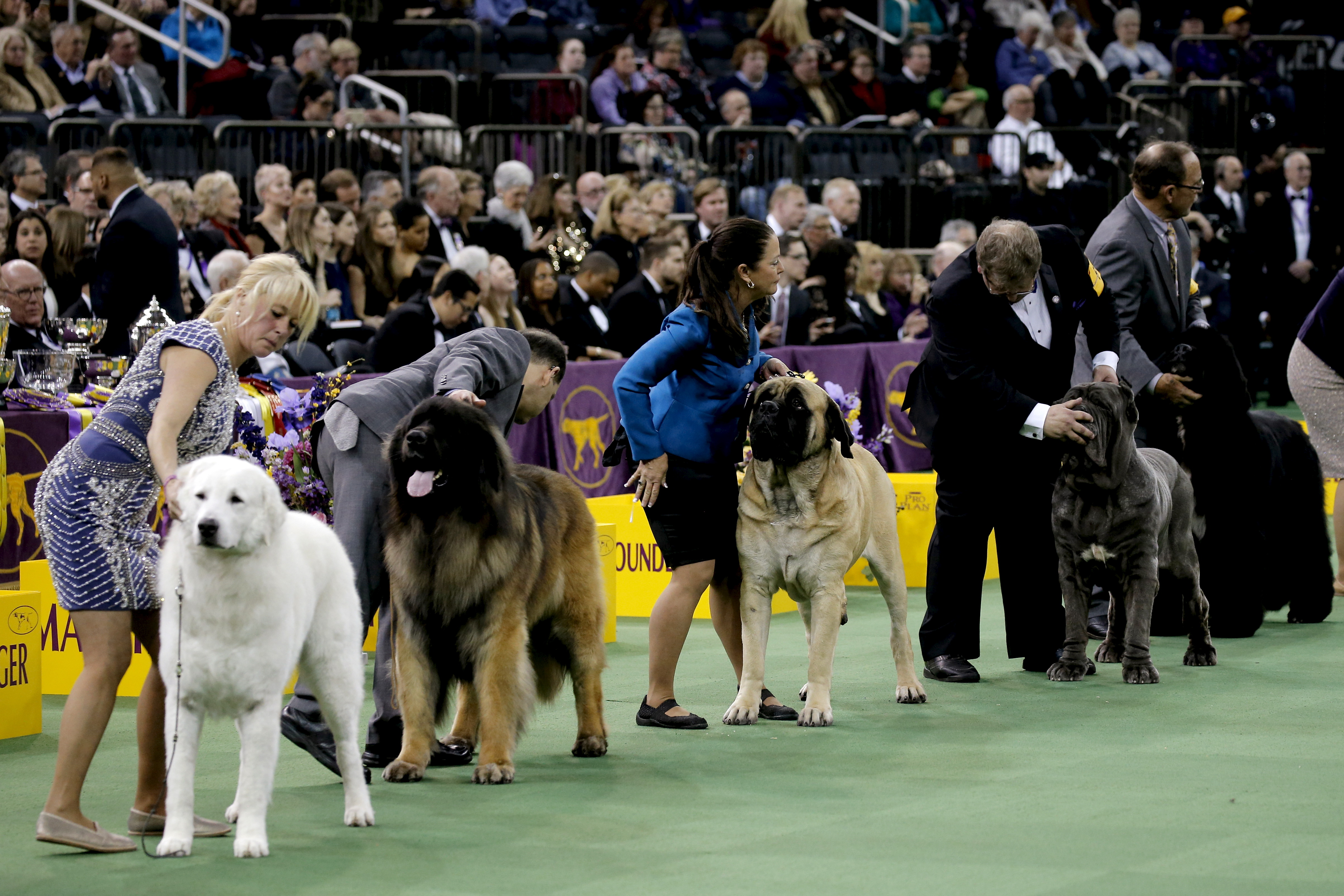 show dogs - photo #48