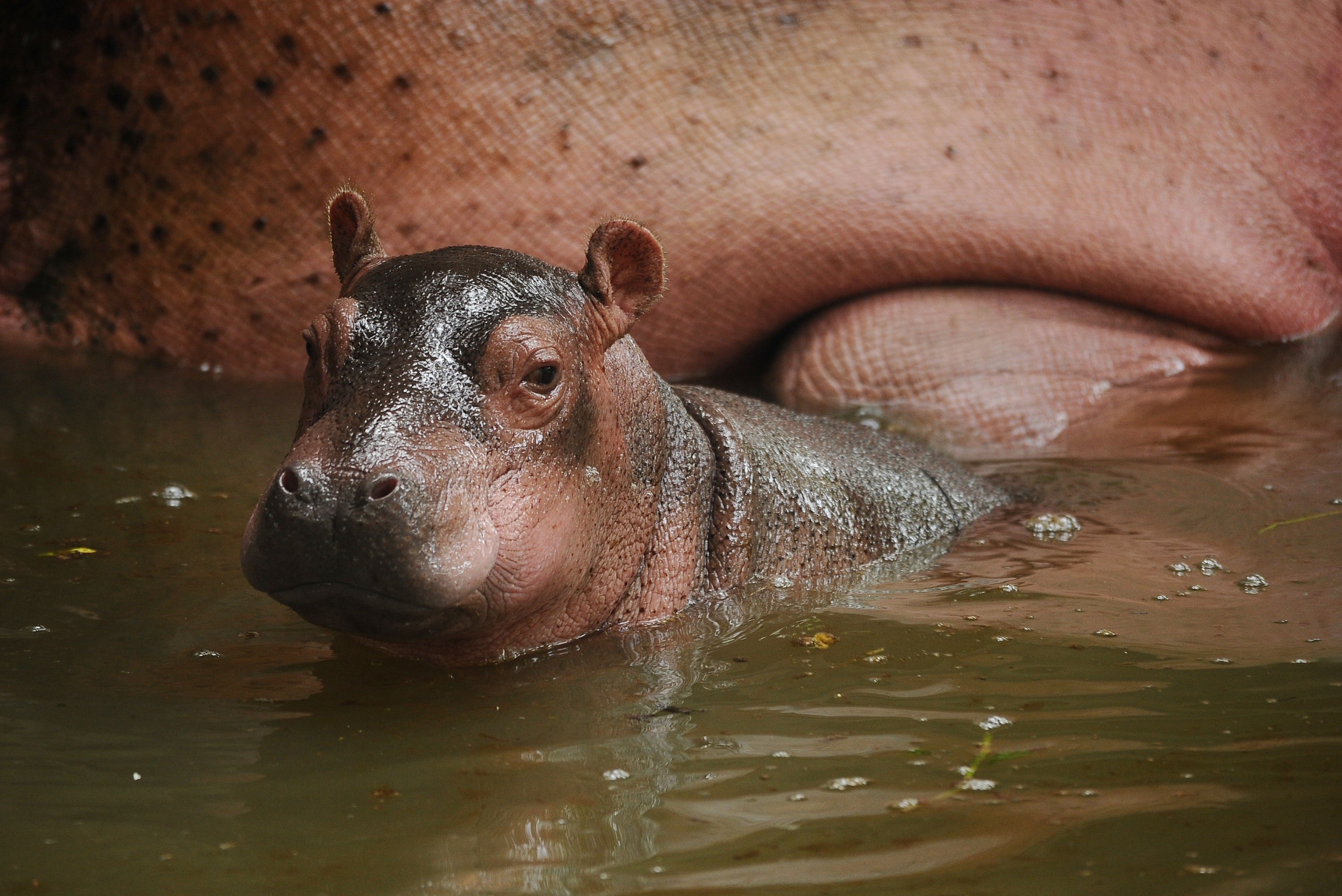 Fiona The Hippo Update Cincinnati Zoo S Premature Baby