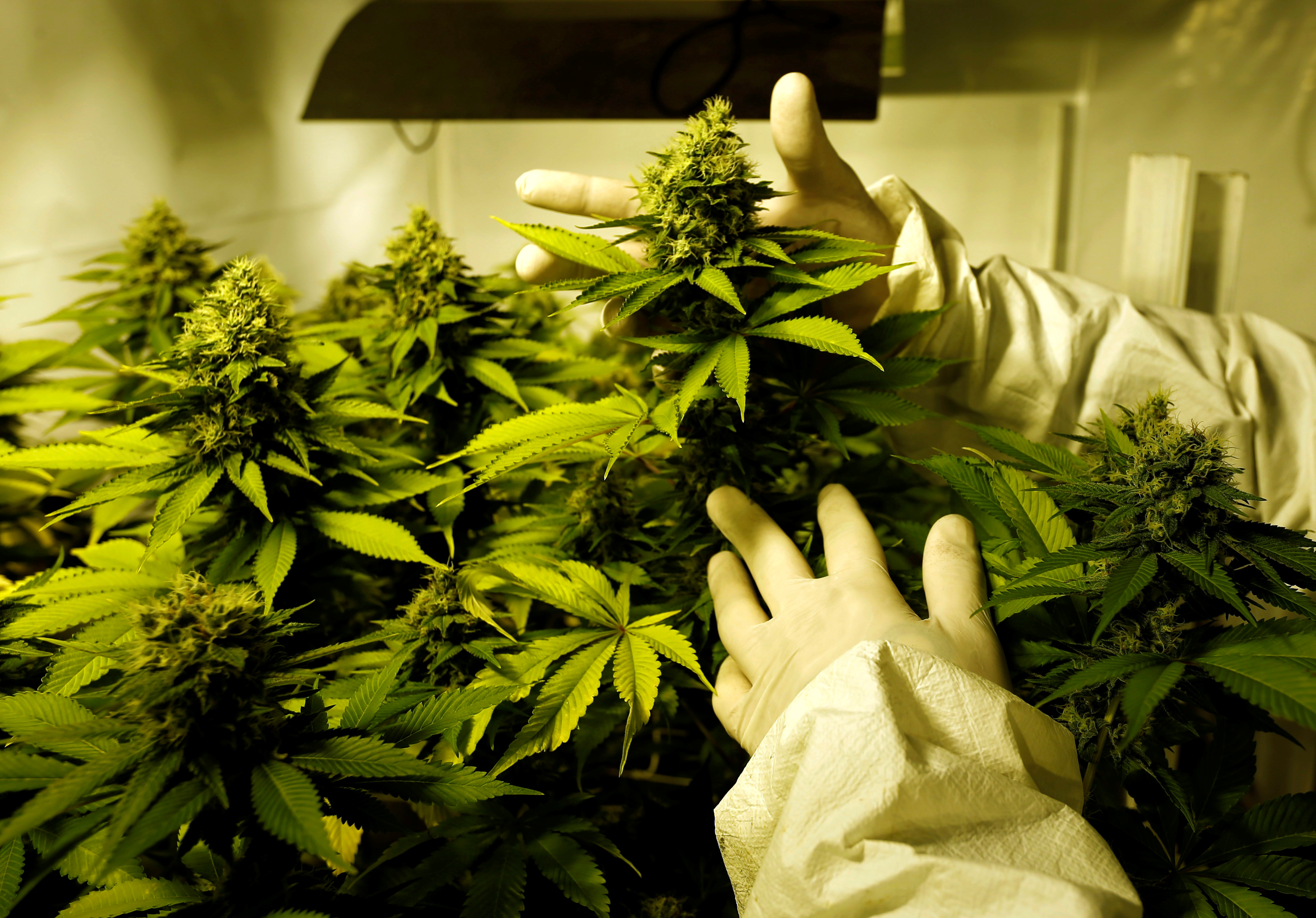 10 Legal Uses For This Marijuana Seeds