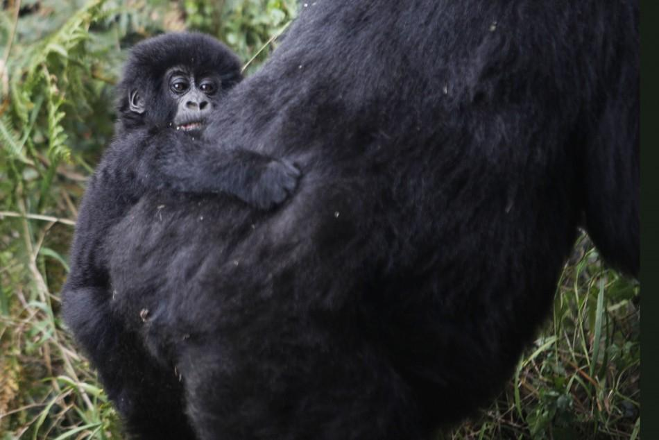 A mountain gorilla from the Kabirizi family clings to its mother in Virunga National Park in eastern Congo