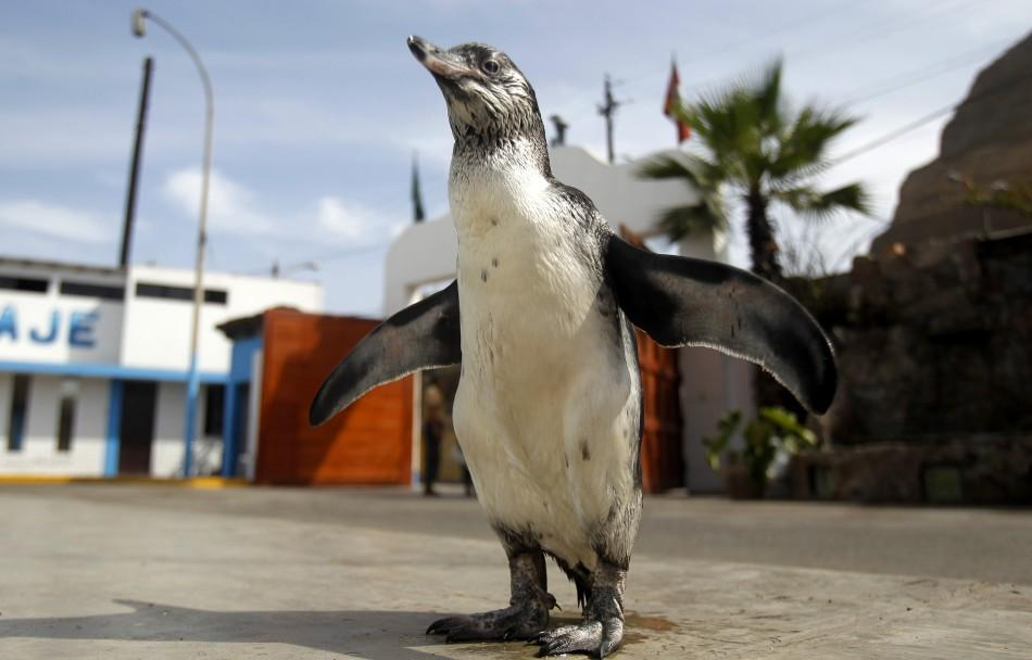 Tomas, a lost Humboldt penguin, walks at the headquarters of the police Salvage Unit in Chorrillos, before it is transferred to a penguin colony on San Lorenzo Island