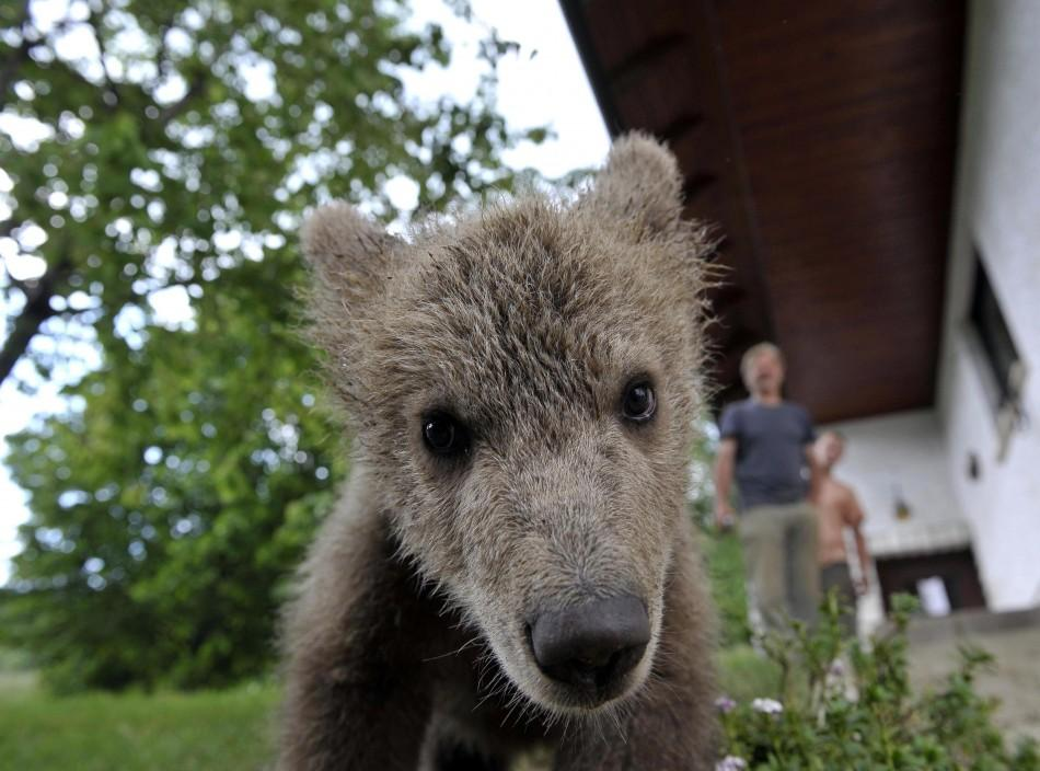 Brown bear cub Medo is seen near the Logar family house in Podvrh village, central Slovenia
