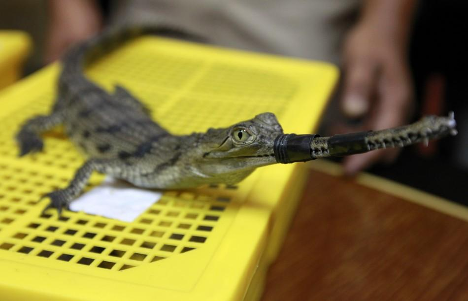 A Thai custom officer shows a false gavial during a news conference at Thailand's customs department in Bangkok June 2, 2011.