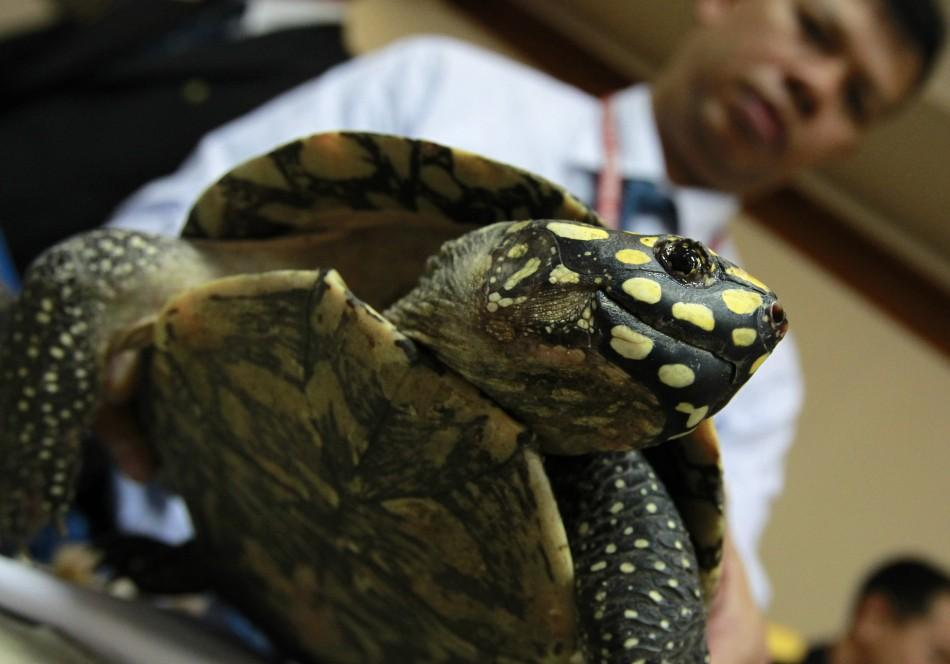 A Thai custom officer shows a seized turtle during a news conference at Thailand's customs department in Bangkok June 2, 2011.