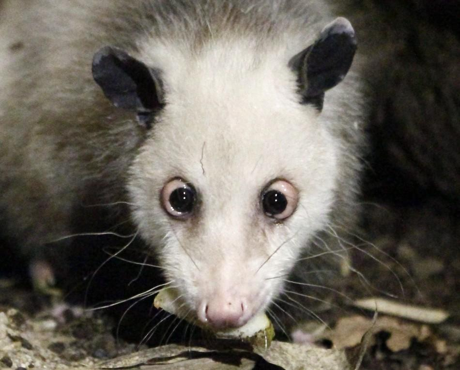 Famous cross-eyed opossum Heidi inspects its new enclosure at the tropical hall of the Zoo in Leipzig