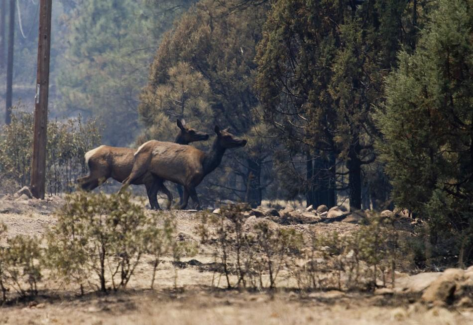 Elks run into the woods on the eastern edge of the Wallow Wildfire outside Alpine
