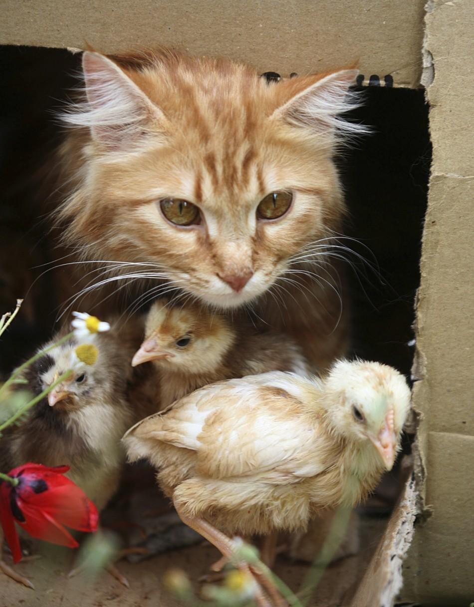 Cat and Chicks