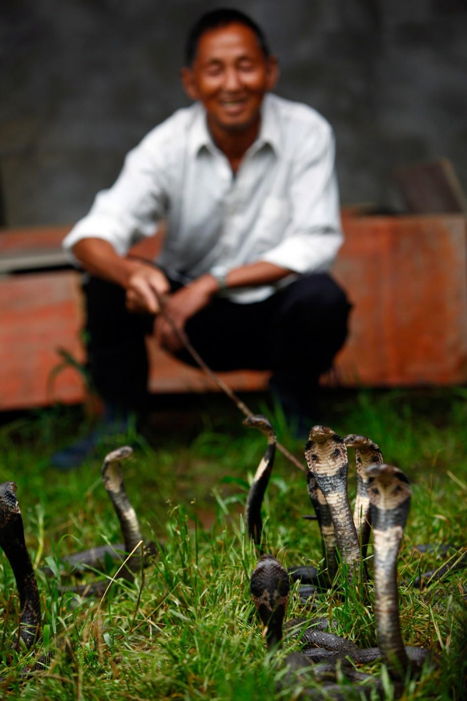 A resident squats next to cobras at a snake farm in Zisiqiao village