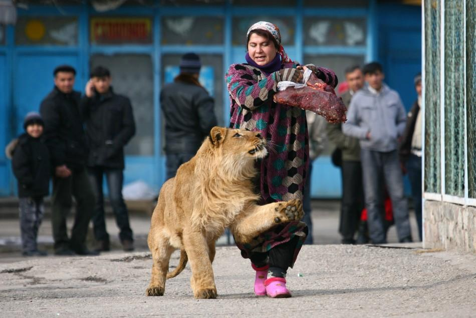 Zukhro, an employee of the city zoo, walks with Vadik, a 18-month-old male lion, on the territory of the zoo in the capital Dushanbe