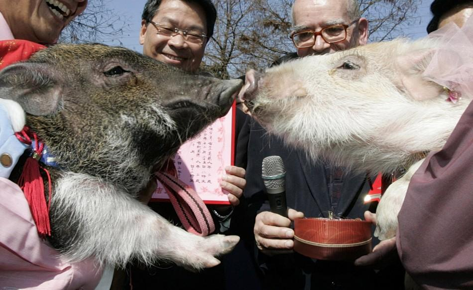 Two pigs kiss during wedding ceremony in Taiwan's Yilan County