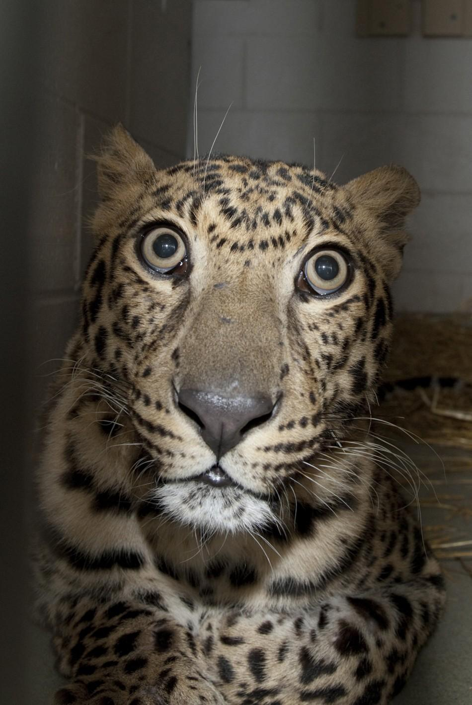 A rescued leopard is pictured at the Columbus Zoo and Aquarium