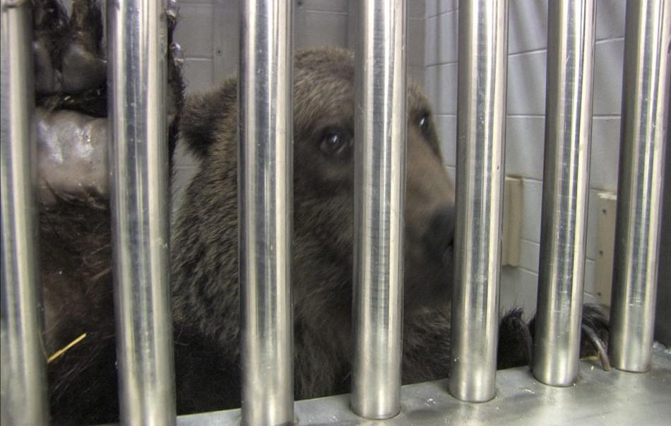 A rescued brown bear is pictured at the Columbus Zoo