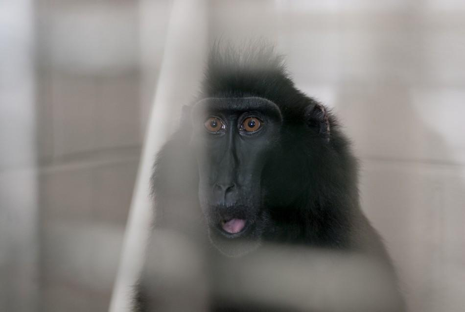 A rescued macaque is pictured at the Columbus Zoo