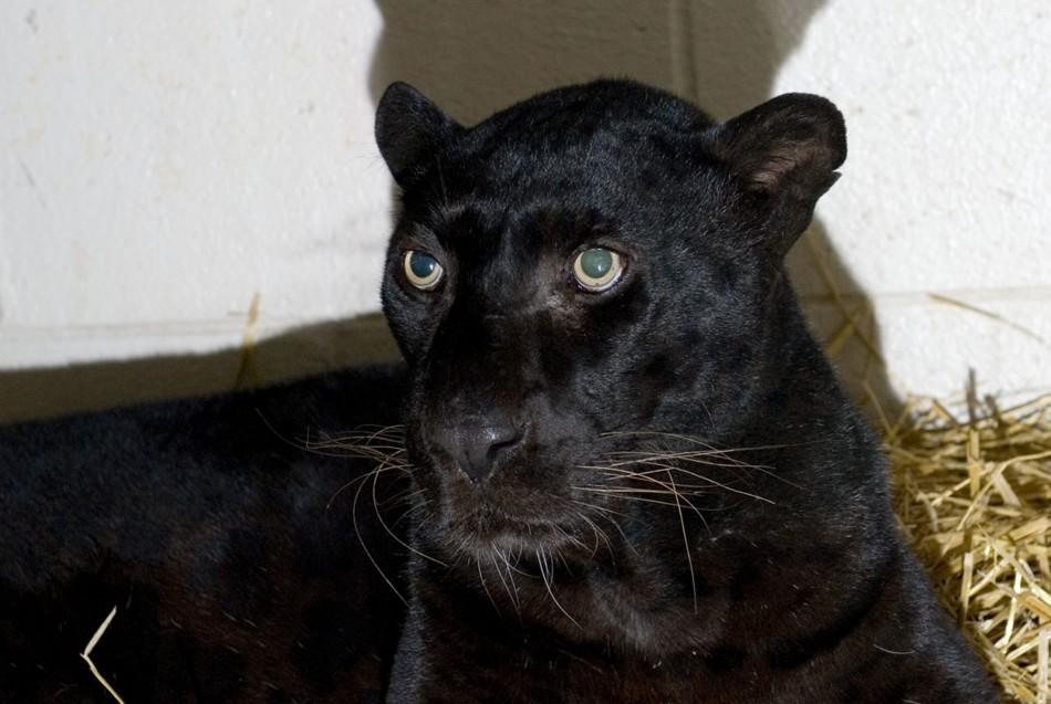 A rescued black leopard is pictured at the Columbus Zoo