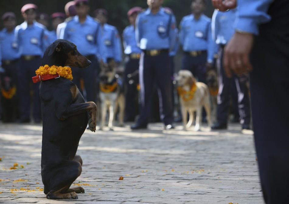 A police dog stands up at the command of its officer during the dog festival as part of celebrations of Tihar at Nepal Police Academy in Kathmandu October 25, 2011.
