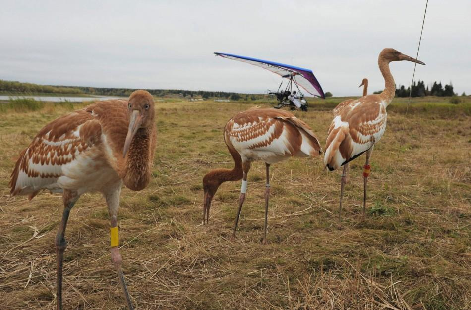 Russian President Putin Leads Endangered Siberian White Cranes as Parent Crane