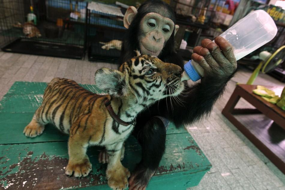 "Two-year-old chimpanzee ""Do Do"" feeds milk to ""Aorn"", a 60-day-old tiger cub, at Samut Prakan Crocodile Farm and Zoo in Samut Prakan provinceTwo-year-old chimpanzee ""Do Do"" feeds milk to ""Aorn"", a 60-day-old tiger c"