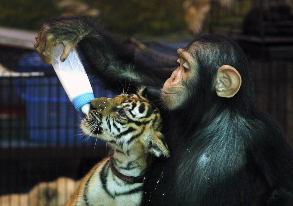 "Two-year-old chimpanzee ""Do Do"" feeds milk to ""Aorn"", a 60-day-old tiger cub, at Samut Prakan Crocodile Farm and Zoo in Samut Prakan province"