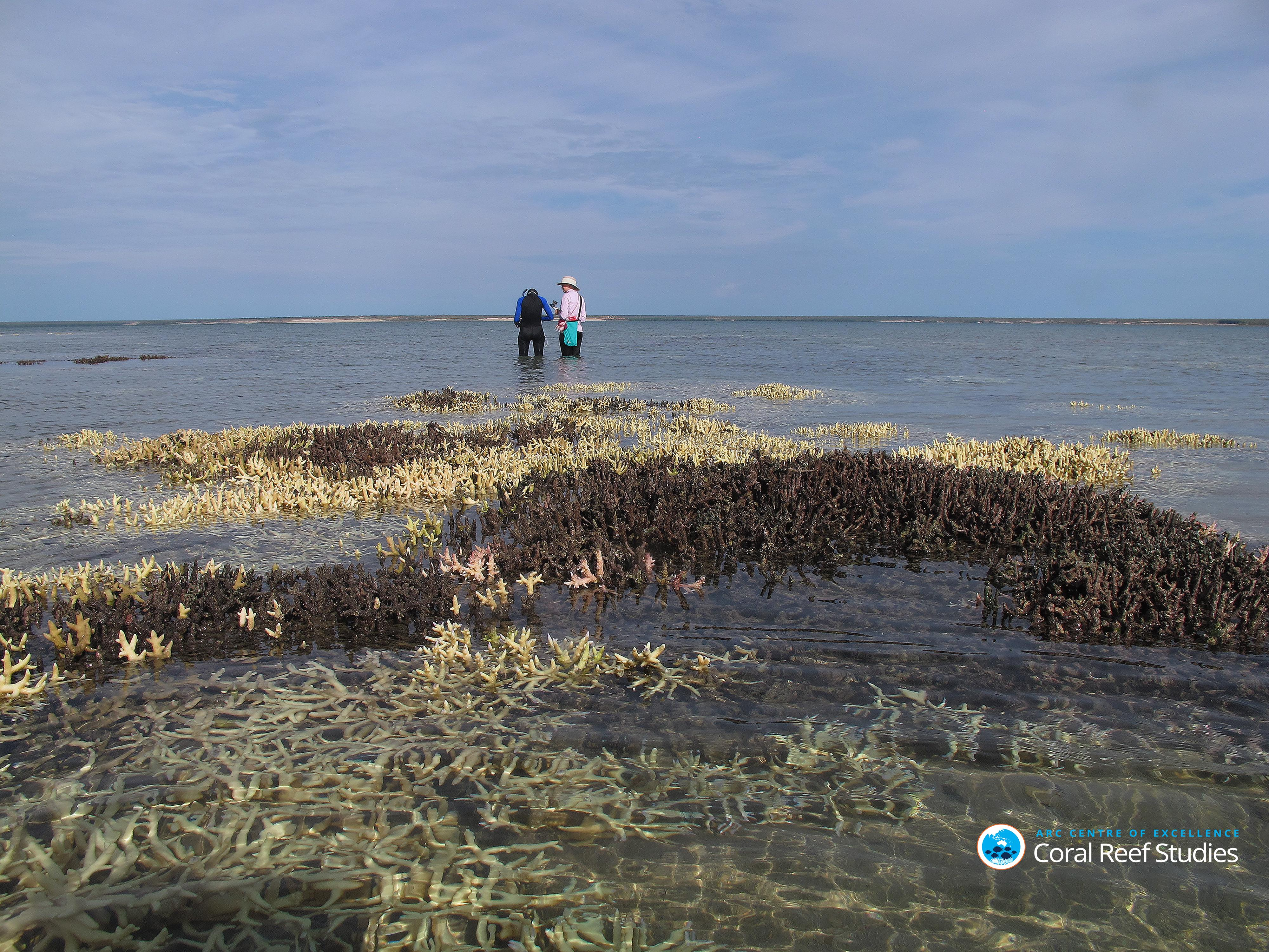 Surveying dead coral in shallow waters at Cygnet Bay Western Australia April 2016 Credit Chris Cornwall
