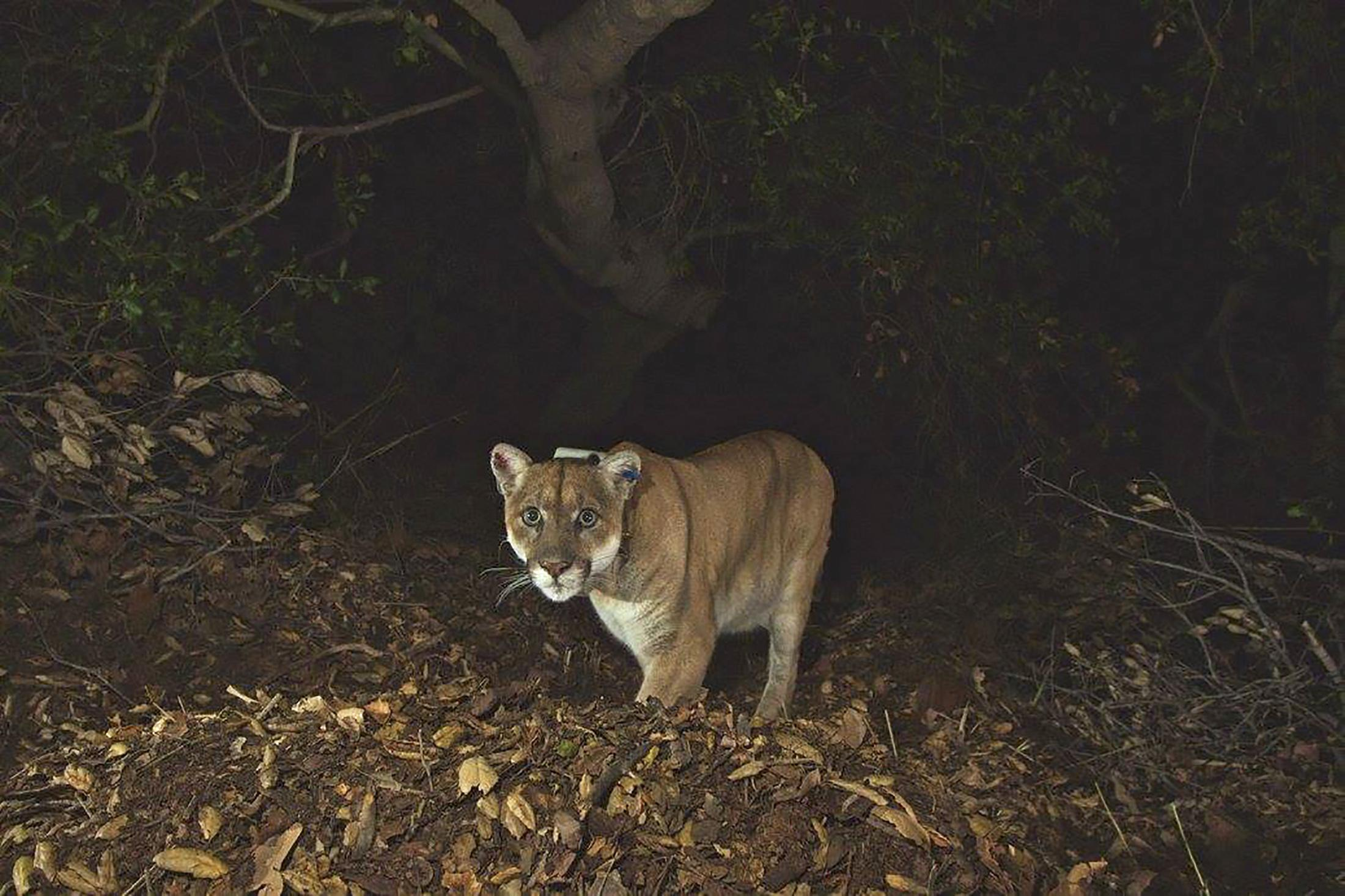 Mountain Lions In LA Are Facing Extinction