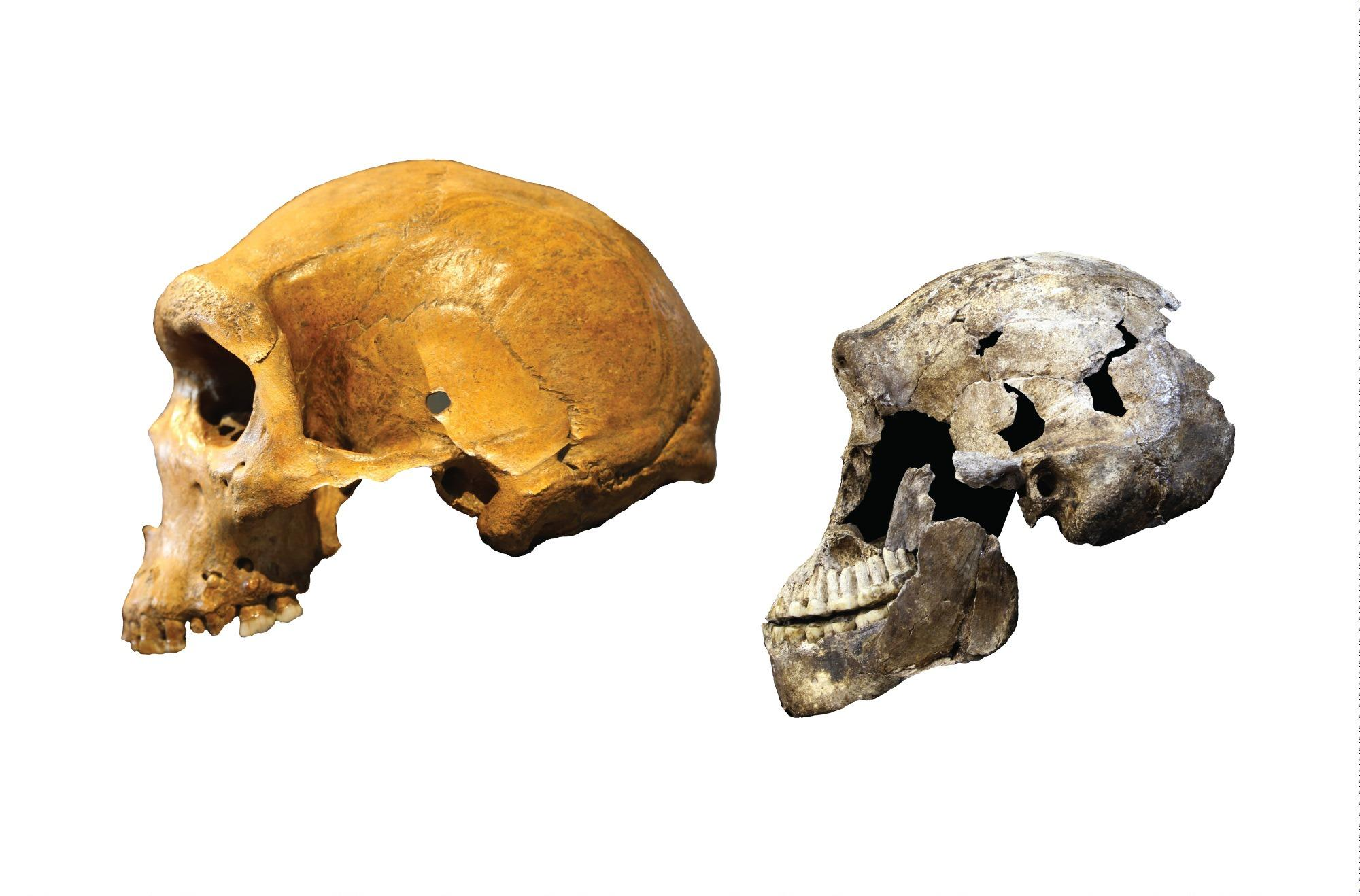 Scientists announce human fossil shows early diversity in 'Homo' family tree