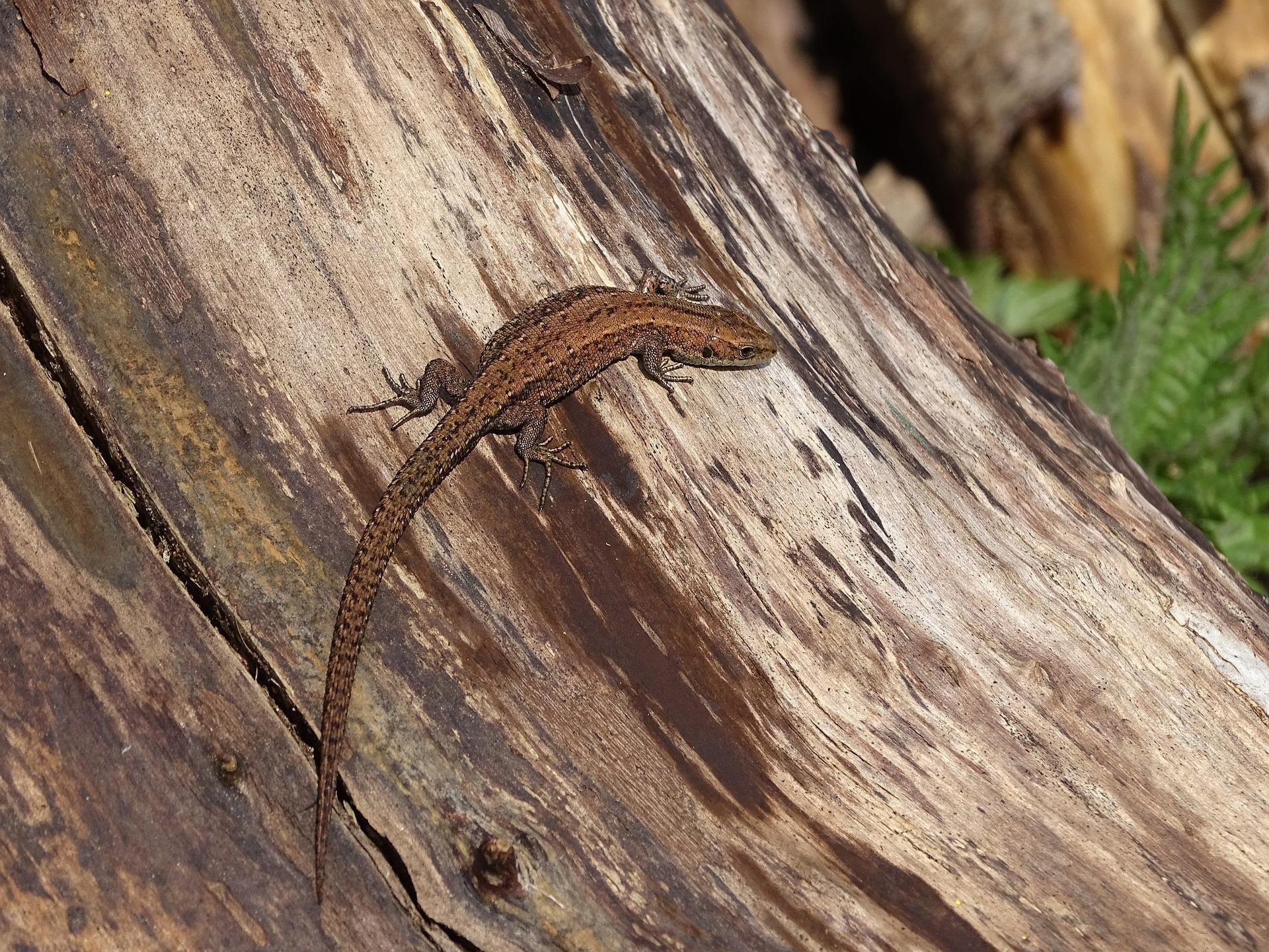 common-lizard-2033818_1920