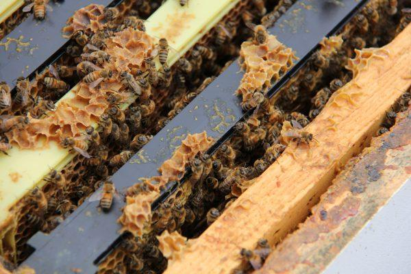 Honeybees-in-a-colony-at-York-University