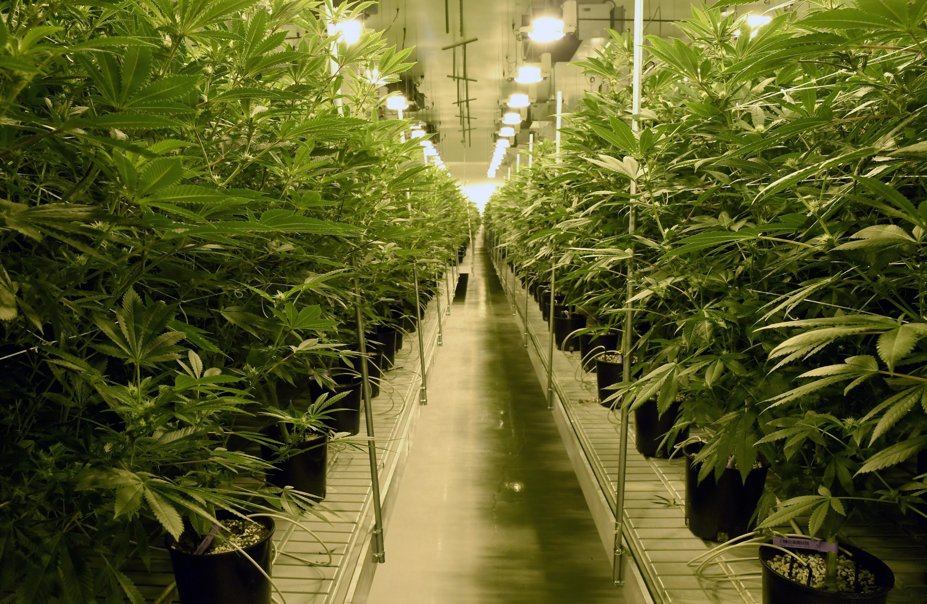 %The Social Weed %Cannabis Recipes, Events, Strains, News