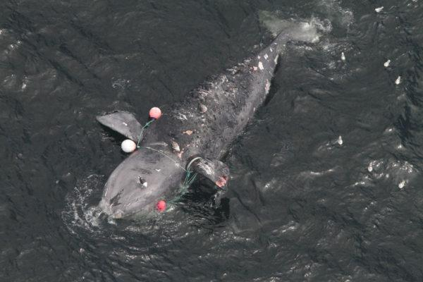 Welp, We Might Be Losing Right Whales