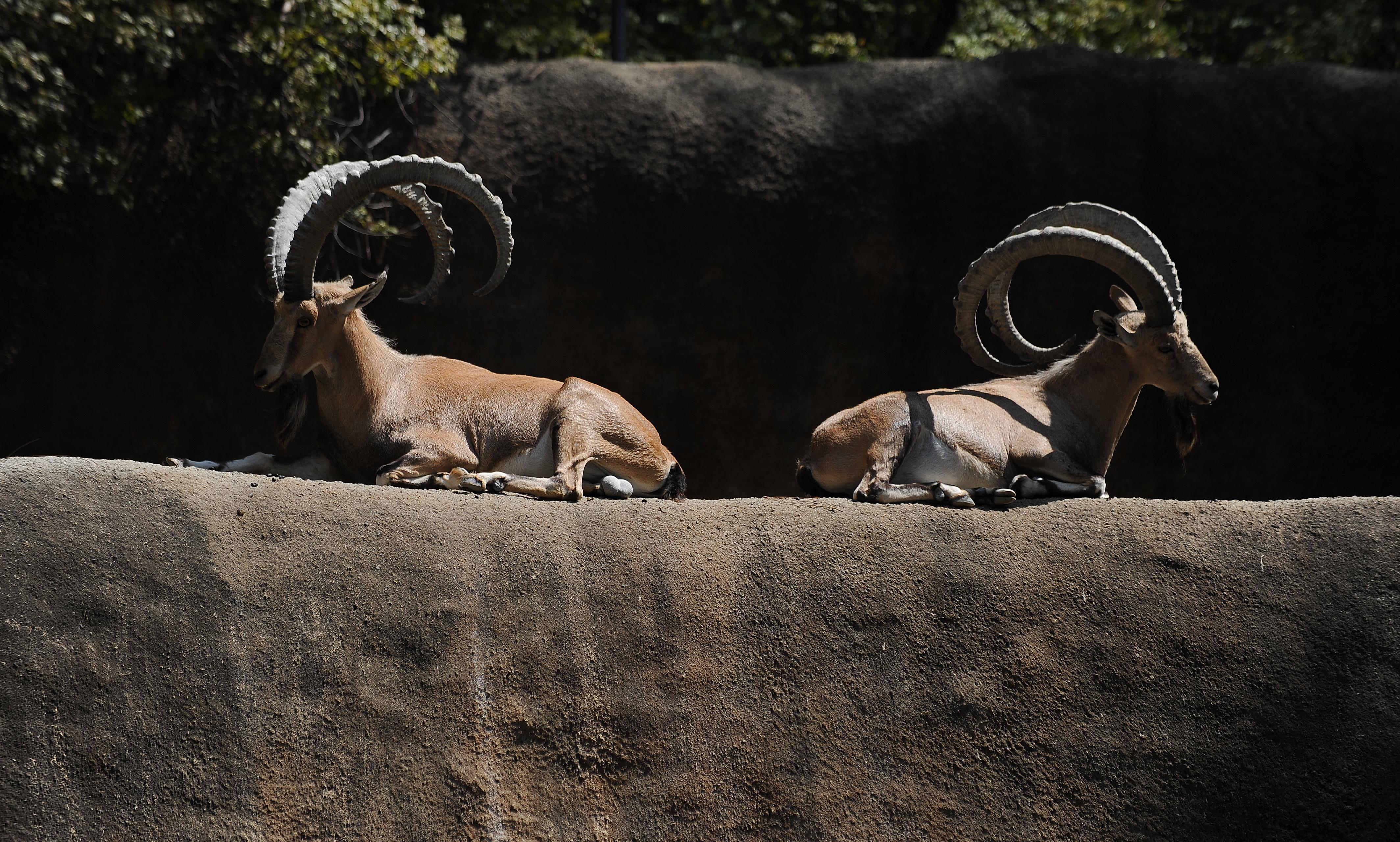 Zoo's entire ibex herd euthanized due to deadly herpes virus