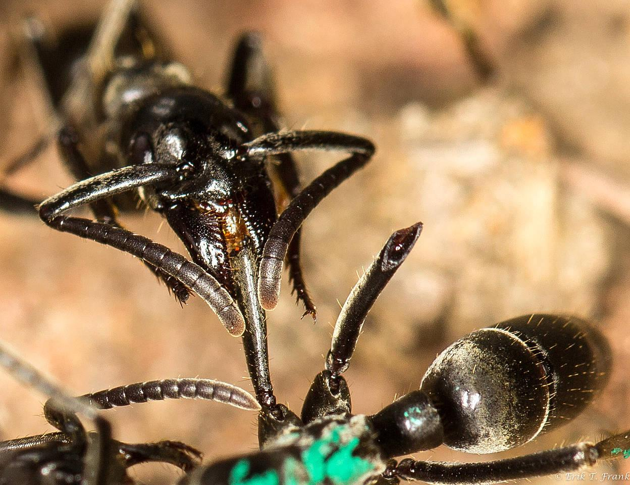 ant-wound-care