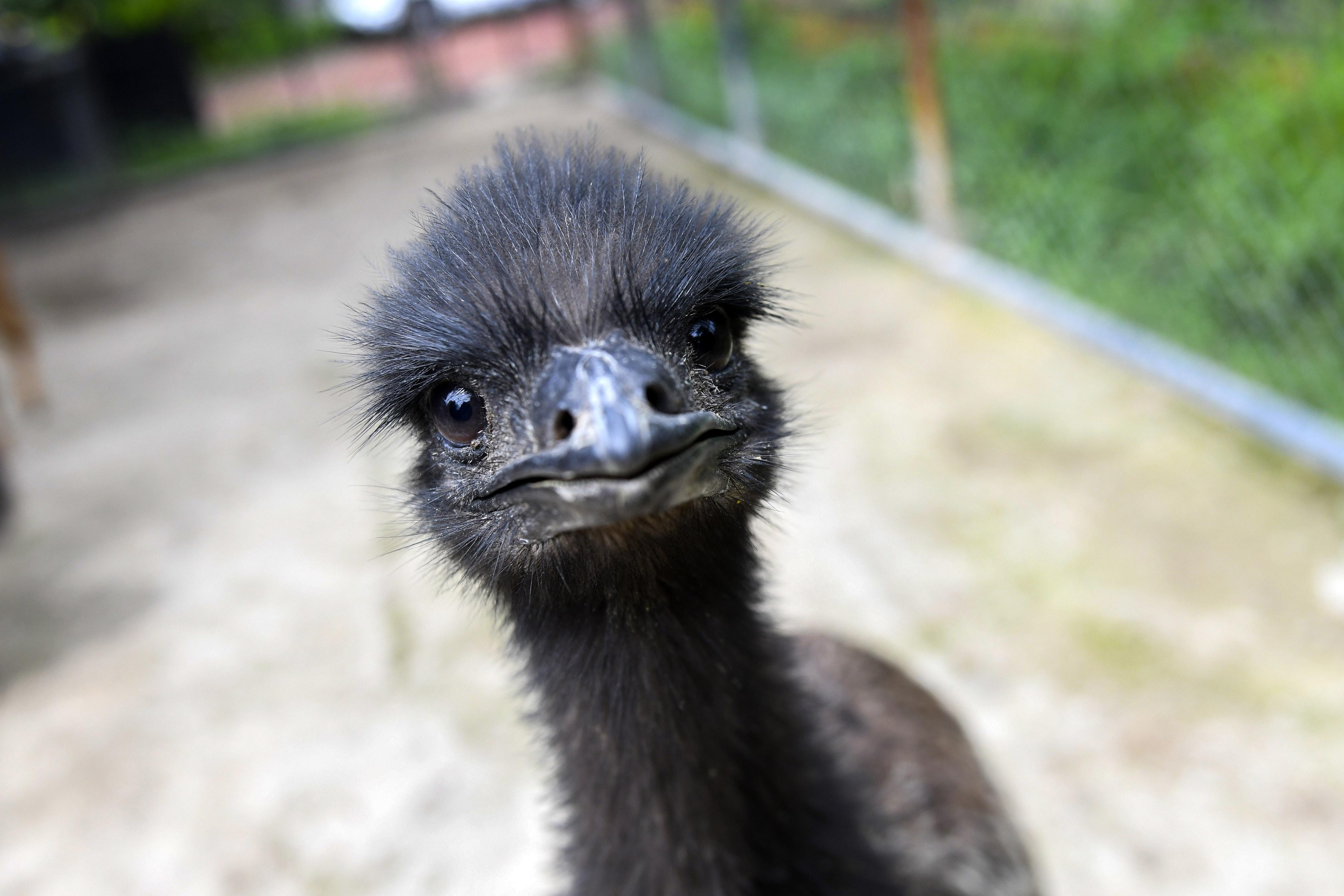Runaway Emu Spotted In Texas City, Police Searching For Owner