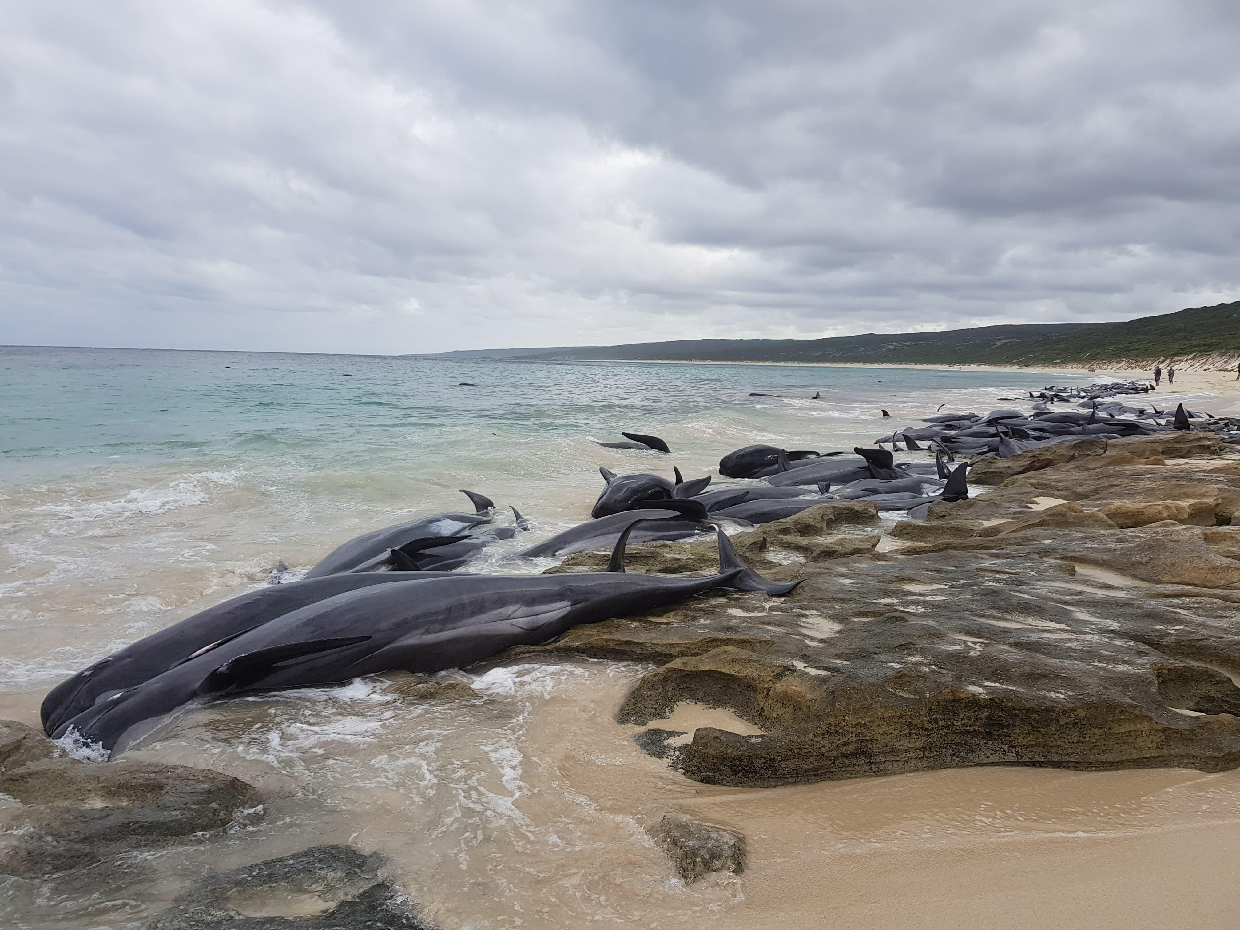 150 whales wash up on beach sparking huge rescue operation in Australia