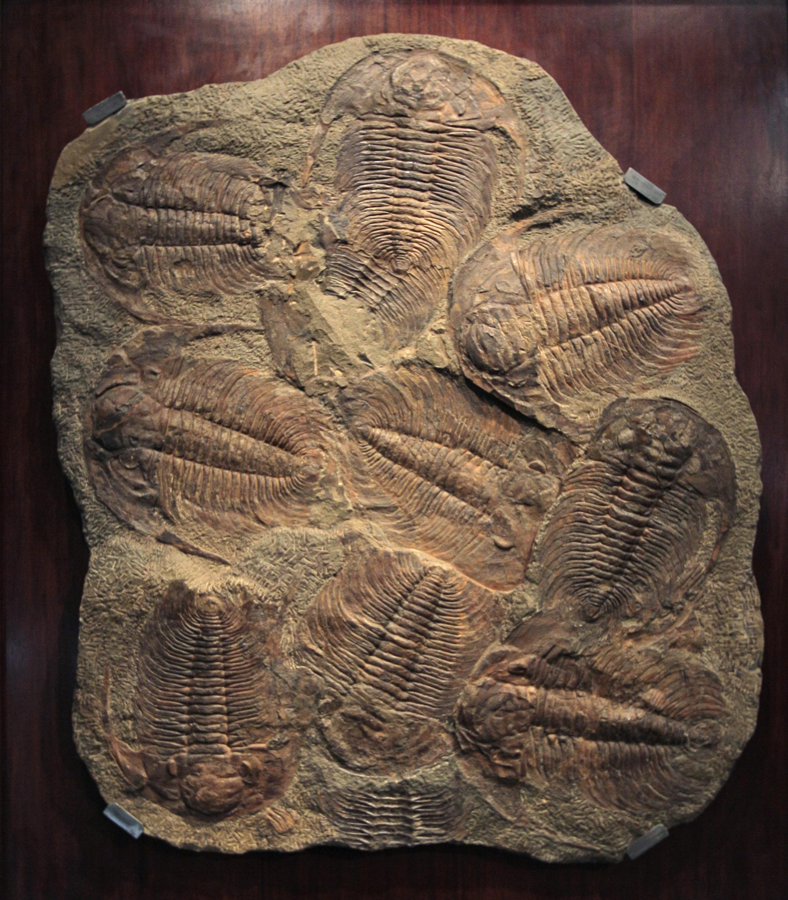 11-year-old finds 475-million-year-old Trilobite fossil in Tennessee