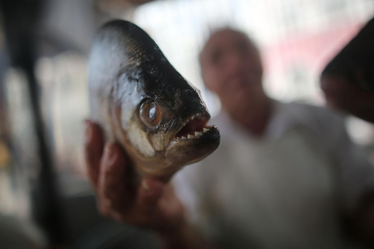 Image result for Piranha found in the sewer system in England