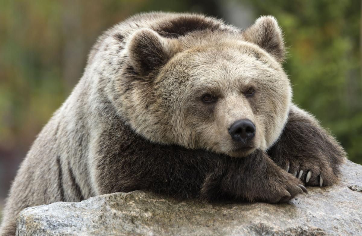 Grizzly bear killed by wildlife officials after killing cow