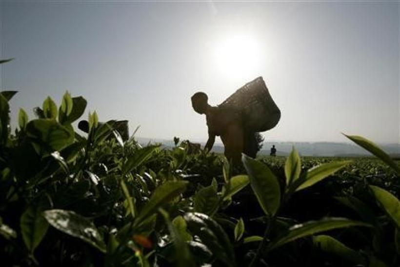 Workers pick tea at a plantation outside Kericho