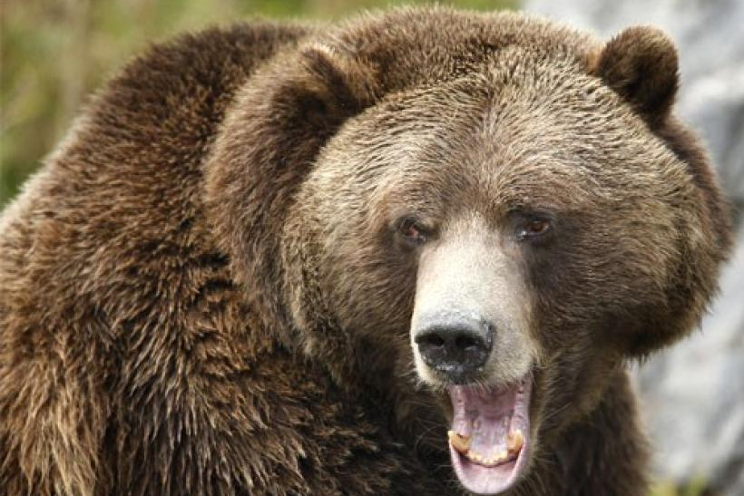 A grizzly bear growls at the St-Felicien Wildlife Zoo in St-Felicien, Quebec