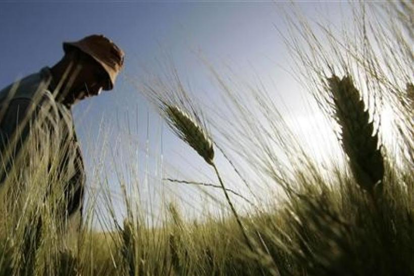 A farmer inspects a wheat field at a farm