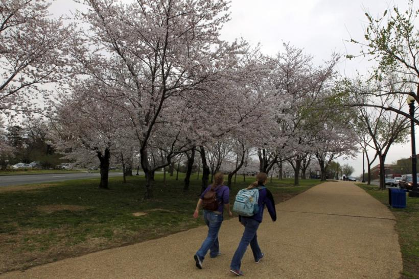 Latest Pictures of Cherry Blossom at Washington