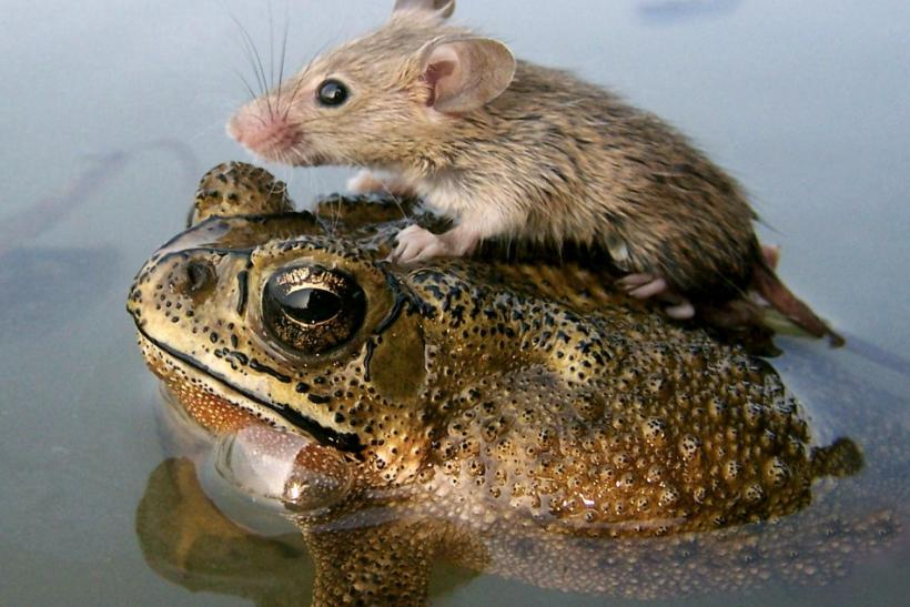A mouse rides on the back of a frog in floodwaters in the northern Indian city Lucknow