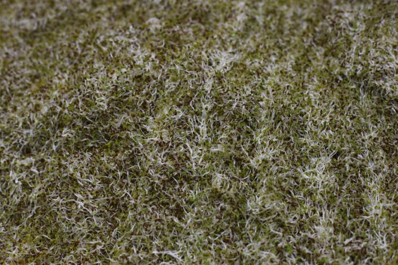 A field of alfalfa bean sprouts