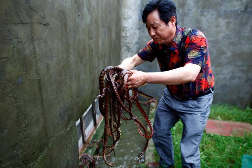 Yang Hongchang, boss of the snake rearing company holds snakes at the snake farm in Zisiqiao village