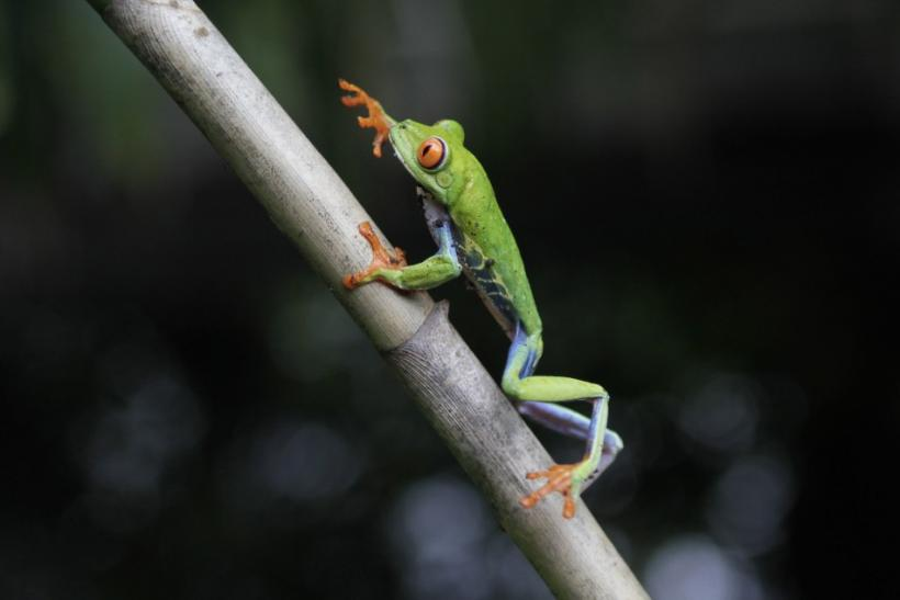 A red-eyed tree frog climbs a branch at the Montibell wildlife reserve